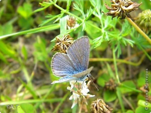 Этим летом я впервые попробовала снимать насекомых: красавиц бабочек, что обитают в наших краях, шмелей и пчел,кузнечиков и прочих...  Что получилось судить вам. фото 10