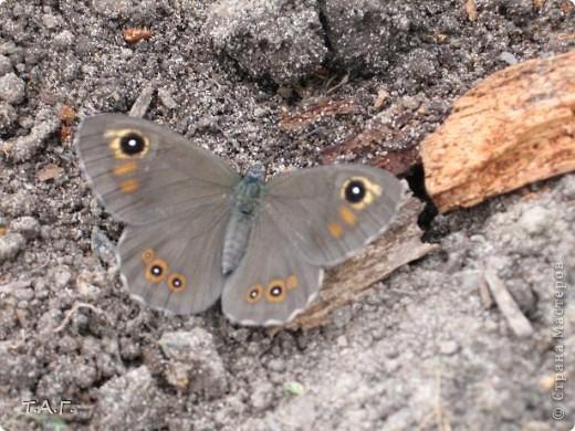 Этим летом я впервые попробовала снимать насекомых: красавиц бабочек, что обитают в наших краях, шмелей и пчел,кузнечиков и прочих...  Что получилось судить вам. фото 11