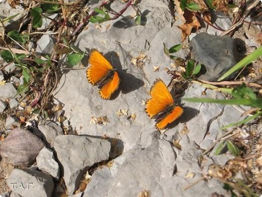 Этим летом я впервые попробовала снимать насекомых: красавиц бабочек, что обитают в наших краях, шмелей и пчел,кузнечиков и прочих...  Что получилось судить вам. фото 12