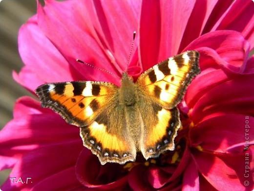 Этим летом я впервые попробовала снимать насекомых: красавиц бабочек, что обитают в наших краях, шмелей и пчел,кузнечиков и прочих...  Что получилось судить вам. фото 2