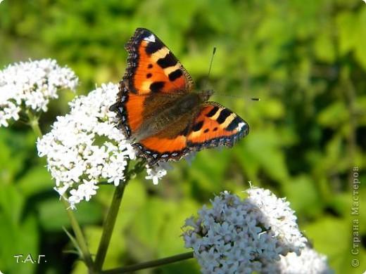 Этим летом я впервые попробовала снимать насекомых: красавиц бабочек, что обитают в наших краях, шмелей и пчел,кузнечиков и прочих...  Что получилось судить вам. фото 1