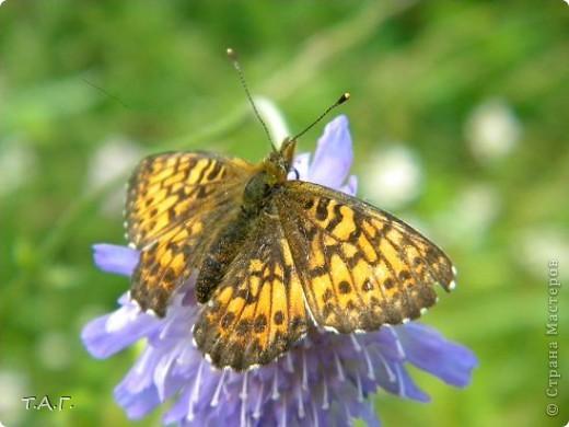 Этим летом я впервые попробовала снимать насекомых: красавиц бабочек, что обитают в наших краях, шмелей и пчел,кузнечиков и прочих...  Что получилось судить вам. фото 3