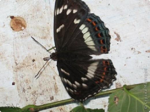 Этим летом я впервые попробовала снимать насекомых: красавиц бабочек, что обитают в наших краях, шмелей и пчел,кузнечиков и прочих...  Что получилось судить вам. фото 4