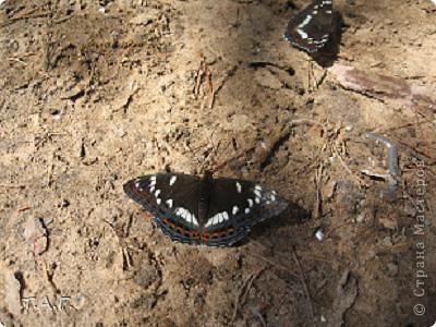Этим летом я впервые попробовала снимать насекомых: красавиц бабочек, что обитают в наших краях, шмелей и пчел,кузнечиков и прочих...  Что получилось судить вам. фото 5