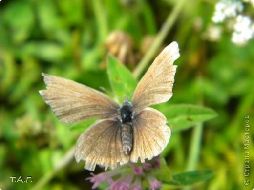 Этим летом я впервые попробовала снимать насекомых: красавиц бабочек, что обитают в наших краях, шмелей и пчел,кузнечиков и прочих...  Что получилось судить вам. фото 6