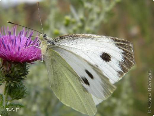 Этим летом я впервые попробовала снимать насекомых: красавиц бабочек, что обитают в наших краях, шмелей и пчел,кузнечиков и прочих...  Что получилось судить вам. фото 8