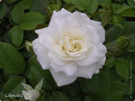 Розы для учителя. фото 2