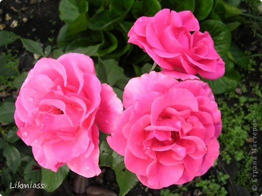 Розы для учителя. фото 1