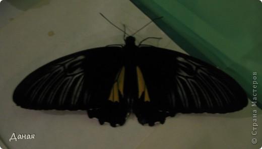 В субботу у нас в городе шел первый снег и было весьма прохладно. Но мы с сыном решили подарить себе кусочек лета, отправившись на выставку тропических бабочек. Я ожидала, что мы увидим замученных созданий в стеклянных коробках. Но мы попали в маленькую комнатку, в которой бабочки  летали... фото 5