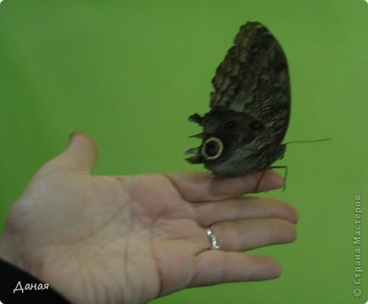 В субботу у нас в городе шел первый снег и было весьма прохладно. Но мы с сыном решили подарить себе кусочек лета, отправившись на выставку тропических бабочек. Я ожидала, что мы увидим замученных созданий в стеклянных коробках. Но мы попали в маленькую комнатку, в которой бабочки  летали... фото 6