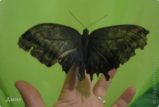 В субботу у нас в городе шел первый снег и было весьма прохладно. Но мы с сыном решили подарить себе кусочек лета, отправившись на выставку тропических бабочек. Я ожидала, что мы увидим замученных созданий в стеклянных коробках. Но мы попали в маленькую комнатку, в которой бабочки  летали... фото 8