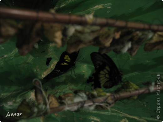 В субботу у нас в городе шел первый снег и было весьма прохладно. Но мы с сыном решили подарить себе кусочек лета, отправившись на выставку тропических бабочек. Я ожидала, что мы увидим замученных созданий в стеклянных коробках. Но мы попали в маленькую комнатку, в которой бабочки  летали... фото 3