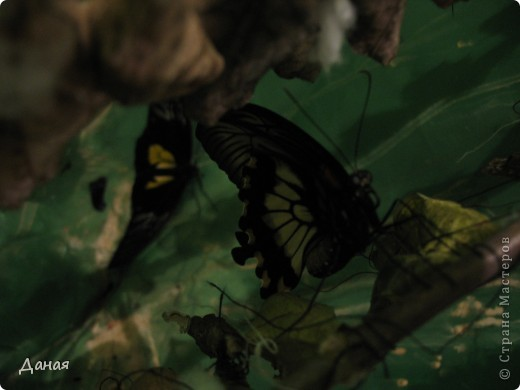 В субботу у нас в городе шел первый снег и было весьма прохладно. Но мы с сыном решили подарить себе кусочек лета, отправившись на выставку тропических бабочек. Я ожидала, что мы увидим замученных созданий в стеклянных коробках. Но мы попали в маленькую комнатку, в которой бабочки  летали... фото 4