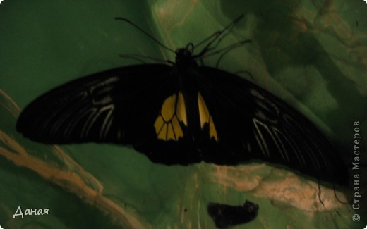 В субботу у нас в городе шел первый снег и было весьма прохладно. Но мы с сыном решили подарить себе кусочек лета, отправившись на выставку тропических бабочек. Я ожидала, что мы увидим замученных созданий в стеклянных коробках. Но мы попали в маленькую комнатку, в которой бабочки  летали... фото 9