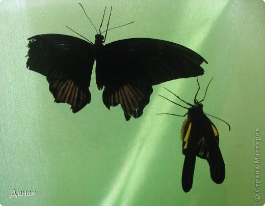 В субботу у нас в городе шел первый снег и было весьма прохладно. Но мы с сыном решили подарить себе кусочек лета, отправившись на выставку тропических бабочек. Я ожидала, что мы увидим замученных созданий в стеклянных коробках. Но мы попали в маленькую комнатку, в которой бабочки  летали... фото 10