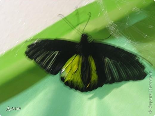 В субботу у нас в городе шел первый снег и было весьма прохладно. Но мы с сыном решили подарить себе кусочек лета, отправившись на выставку тропических бабочек. Я ожидала, что мы увидим замученных созданий в стеклянных коробках. Но мы попали в маленькую комнатку, в которой бабочки  летали... фото 13
