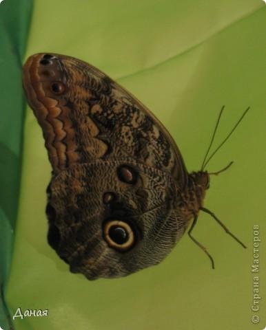 В субботу у нас в городе шел первый снег и было весьма прохладно. Но мы с сыном решили подарить себе кусочек лета, отправившись на выставку тропических бабочек. Я ожидала, что мы увидим замученных созданий в стеклянных коробках. Но мы попали в маленькую комнатку, в которой бабочки  летали... фото 12