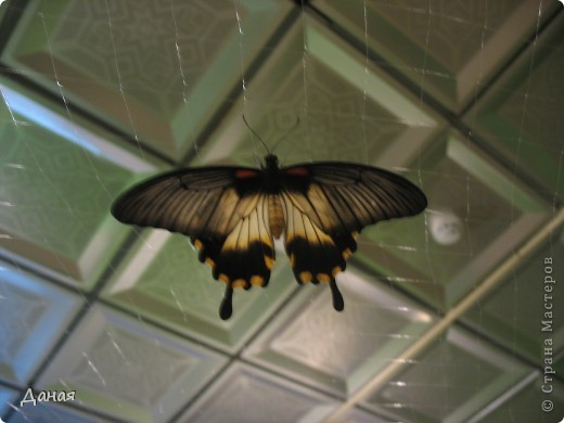 В субботу у нас в городе шел первый снег и было весьма прохладно. Но мы с сыном решили подарить себе кусочек лета, отправившись на выставку тропических бабочек. Я ожидала, что мы увидим замученных созданий в стеклянных коробках. Но мы попали в маленькую комнатку, в которой бабочки  летали... фото 16