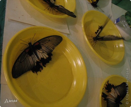 В субботу у нас в городе шел первый снег и было весьма прохладно. Но мы с сыном решили подарить себе кусочек лета, отправившись на выставку тропических бабочек. Я ожидала, что мы увидим замученных созданий в стеклянных коробках. Но мы попали в маленькую комнатку, в которой бабочки  летали... фото 20