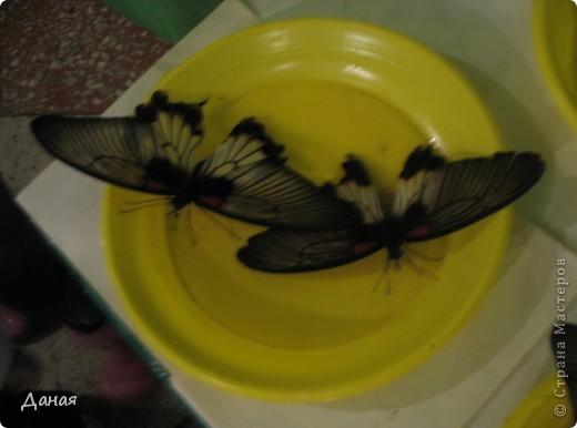 В субботу у нас в городе шел первый снег и было весьма прохладно. Но мы с сыном решили подарить себе кусочек лета, отправившись на выставку тропических бабочек. Я ожидала, что мы увидим замученных созданий в стеклянных коробках. Но мы попали в маленькую комнатку, в которой бабочки  летали... фото 19