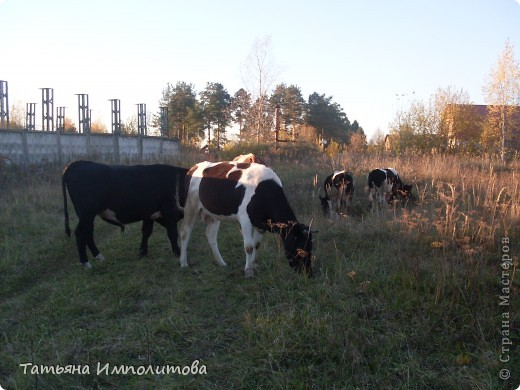 Погода сегодня замечательная и мы решили навестить нашу знакомую сосну.По дороге встретили небольшое стадо коров.Очень милые и ухоженные,а бык вообще красавец.Самое интересное,что они были без пастуха и довольно далеко от деревни фото 2