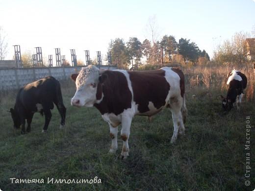 Погода сегодня замечательная и мы решили навестить нашу знакомую сосну.По дороге встретили небольшое стадо коров.Очень милые и ухоженные,а бык вообще красавец.Самое интересное,что они были без пастуха и довольно далеко от деревни фото 1