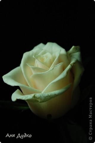 roses... фото 2