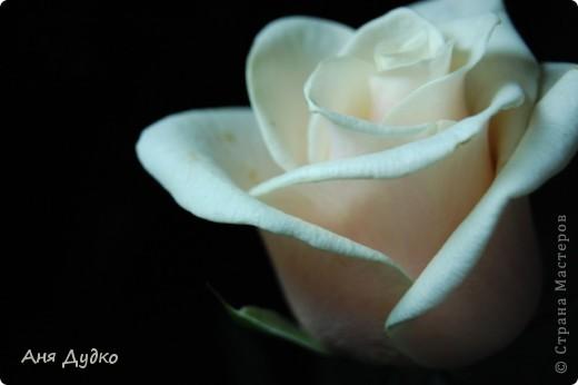 roses... фото 4