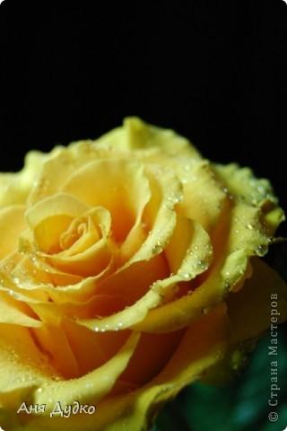 roses... фото 7