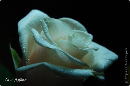roses... фото 8