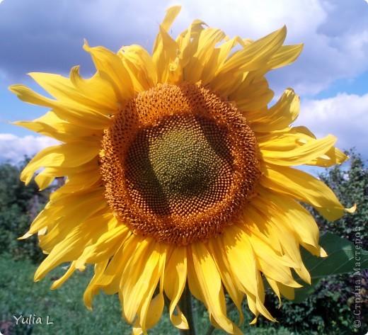 Вот и подошел к завершению дачный сезон и цикл фоторепортажей из Сибири. Это последние цветы, которые уже померкли от беспощадных заморозков. Остается лишь любоваться яркими фото. Благодарна всем, кто заглядывал в гости на протяжении лета и любовался вместе со мной замечательными творениями матушки-природы. А самый первый репортаж здесь http://stranamasterov.ru/node/85441 Гелениум осенний. фото 6