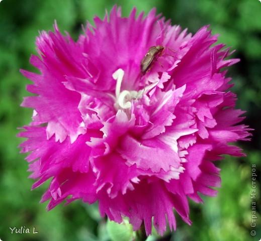 Вот и подошел к завершению дачный сезон и цикл фоторепортажей из Сибири. Это последние цветы, которые уже померкли от беспощадных заморозков. Остается лишь любоваться яркими фото. Благодарна всем, кто заглядывал в гости на протяжении лета и любовался вместе со мной замечательными творениями матушки-природы. А самый первый репортаж здесь http://stranamasterov.ru/node/85441 Гелениум осенний. фото 24