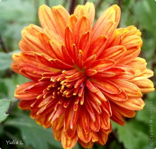 Вот и подошел к завершению дачный сезон и цикл фоторепортажей из Сибири. Это последние цветы, которые уже померкли от беспощадных заморозков. Остается лишь любоваться яркими фото. Благодарна всем, кто заглядывал в гости на протяжении лета и любовался вместе со мной замечательными творениями матушки-природы. А самый первый репортаж здесь http://stranamasterov.ru/node/85441 Гелениум осенний. фото 2