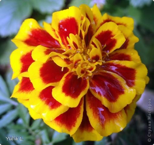 Вот и подошел к завершению дачный сезон и цикл фоторепортажей из Сибири. Это последние цветы, которые уже померкли от беспощадных заморозков. Остается лишь любоваться яркими фото. Благодарна всем, кто заглядывал в гости на протяжении лета и любовался вместе со мной замечательными творениями матушки-природы. А самый первый репортаж здесь http://stranamasterov.ru/node/85441 Гелениум осенний. фото 7