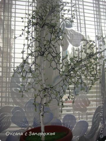 Новая береза и новый кактус- они меня уже покинули фото 1
