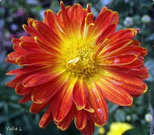 Вот и подошел к завершению дачный сезон и цикл фоторепортажей из Сибири. Это последние цветы, которые уже померкли от беспощадных заморозков. Остается лишь любоваться яркими фото. Благодарна всем, кто заглядывал в гости на протяжении лета и любовался вместе со мной замечательными творениями матушки-природы. А самый первый репортаж здесь http://stranamasterov.ru/node/85441 Гелениум осенний. фото 3