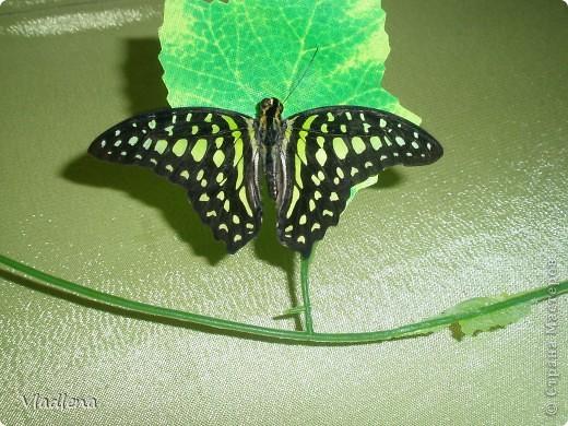 Открылась в городе выставка живых тропических бабочек. Они свободно порхают в ограниченном пространстве. Искусственно создаются условия тропиков. Бабочки огромные, яркие! фото 1