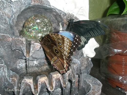 Открылась в городе выставка живых тропических бабочек. Они свободно порхают в ограниченном пространстве. Искусственно создаются условия тропиков. Бабочки огромные, яркие! фото 2