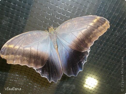 Открылась в городе выставка живых тропических бабочек. Они свободно порхают в ограниченном пространстве. Искусственно создаются условия тропиков. Бабочки огромные, яркие! фото 3