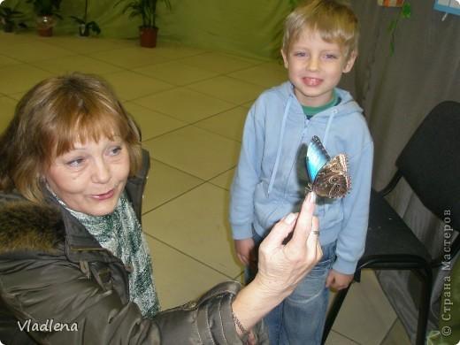 Открылась в городе выставка живых тропических бабочек. Они свободно порхают в ограниченном пространстве. Искусственно создаются условия тропиков. Бабочки огромные, яркие! фото 4