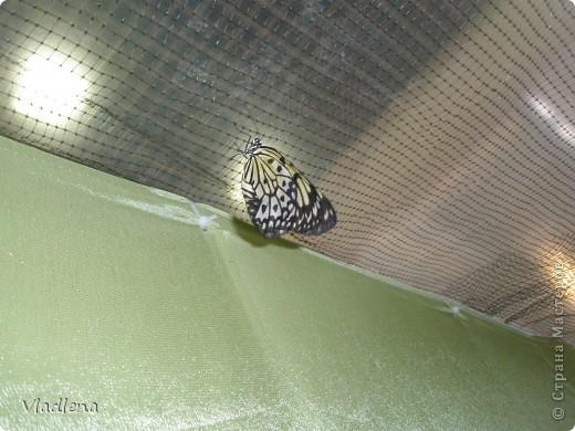 Открылась в городе выставка живых тропических бабочек. Они свободно порхают в ограниченном пространстве. Искусственно создаются условия тропиков. Бабочки огромные, яркие! фото 6