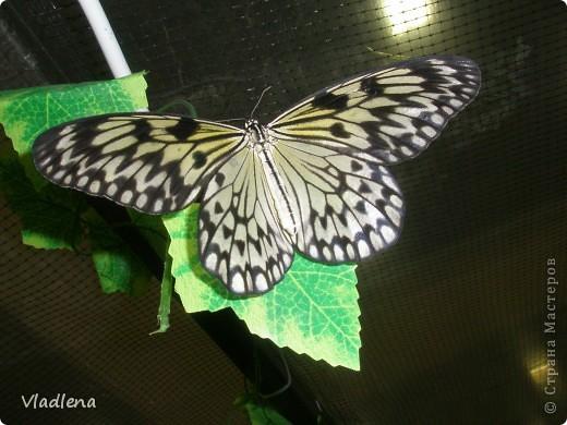 Открылась в городе выставка живых тропических бабочек. Они свободно порхают в ограниченном пространстве. Искусственно создаются условия тропиков. Бабочки огромные, яркие! фото 8