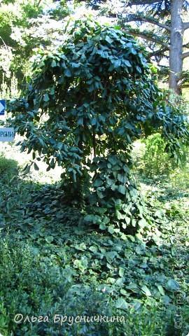 Никитский ботанический сад - комплексное научно-исследовательское учреждение, ведущее работы по вопросам плодоводства и ботаники. Основан в 1812 году ученым Христианом Стевеном. фото 7