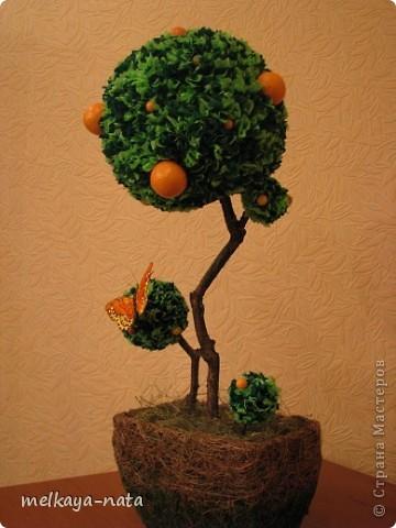 Вот  еще одно деревце(апельсиновое или мандариновое кому как больше нравится) фото 1