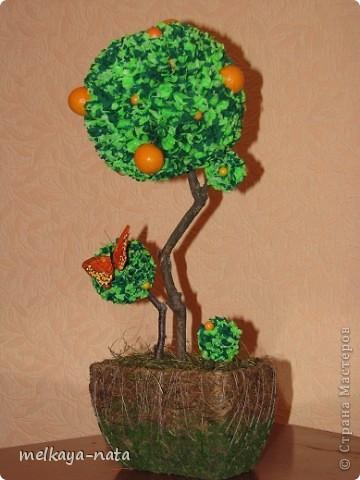 Вот  еще одно деревце(апельсиновое или мандариновое кому как больше нравится) фото 2