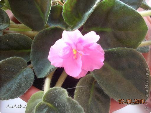 Побывала на выставке, которую нам показала irina0828 http://stranamasterov.ru/node/98480 и вспомнила про свои цветочки, которые я фотографировала в разное время... Это голубые...  фото 4