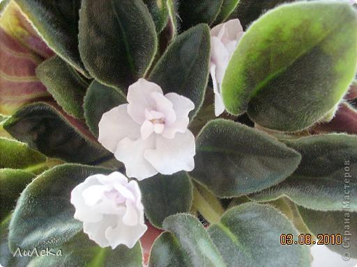 Побывала на выставке, которую нам показала irina0828 http://stranamasterov.ru/node/98480 и вспомнила про свои цветочки, которые я фотографировала в разное время... Это голубые...  фото 5