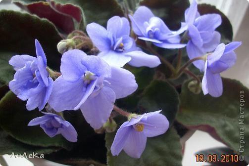 Побывала на выставке, которую нам показала irina0828 http://stranamasterov.ru/node/98480 и вспомнила про свои цветочки, которые я фотографировала в разное время... Это голубые...  фото 8
