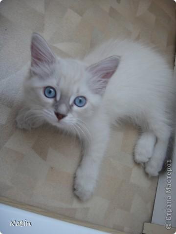 Давайте знакомиться - это Алиса. Наша любимица, умница и красавица.  фото 3