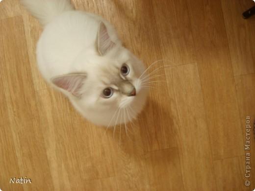 Давайте знакомиться - это Алиса. Наша любимица, умница и красавица.  фото 10